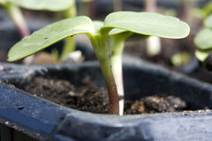 Young sunflower seedling Royalty Free Stock Photo