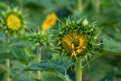 Young Sunflower with the sunflowers field in background. Stock Photo