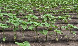 Young sunflower using herbicides is protected from weeds. In the field, young sunflower using herbicides is protected from weeds stock image