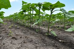 Young sunflower using herbicides is protected from weeds. In the field, young sunflower using herbicides is protected from weeds stock photography