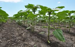 Young sunflower using herbicides is protected from weeds. In the field, young sunflower using herbicides is protected from weeds stock photos