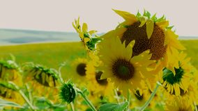 Young Sunflowers stock video