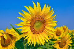 Young sunflowers bloom in field against a blue sky Royalty Free Stock Photos