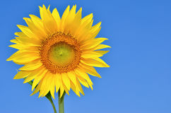 Young sunflowers bloom in field against a blue sky Royalty Free Stock Photography