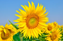 Young sunflowers bloom in field against a blue sky Stock Photography