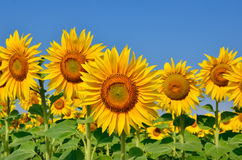 Young sunflowers bloom in field against a blue sky Stock Photos