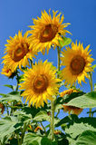 Young sunflowers bloom in field against a blue sky Royalty Free Stock Images