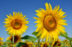 Young sunflowers bloom in field against a blue sky Royalty Free Stock Image
