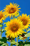 Young sunflowers bloom in field against a blue sky Stock Images