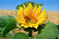 Young sunflowers bloom in field against a blue sky.  Royalty Free Stock Photo