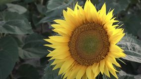 Young Sunflowers in the Field stock video footage