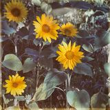 Young sunflowers old photo. royalty free stock image