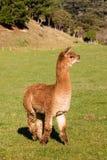 Young suri alpaca standing in paddock Royalty Free Stock Photo