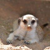 Young suricata Stock Image