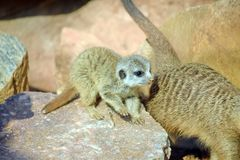 Suricata Cub Baby Playing Suricatta Stock Photo royalty free stock image
