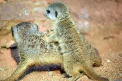 Suricata Cub Baby Playing Suricatta Stock Photo stock photo