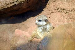 Young Suricata Cub Baby on Stone Suricatta Stock Photo stock image