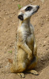 Young suricate (Suricata suricatta) Royalty Free Stock Photos