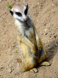 Young suricate (Suricata suricatta) Stock Photography