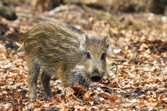 Young sus scrofa. Beautiful wild boar (Sus Scrofa) in national park Het Aardhuis at the Hoge Veluwe in the Netherlands stock photos