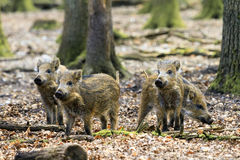 Young sus scrofa group Stock Photography