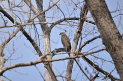 Young Swainsons Hawk watching from bare trees Stock Image