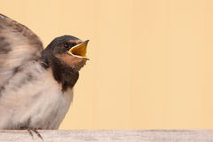 Young swallow begging for food Royalty Free Stock Photography