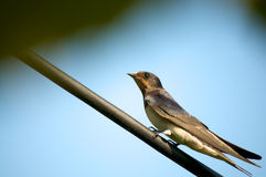 Young swallow bird Stock Image