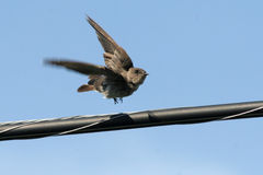 Young Swallow in Flight Royalty Free Stock Photo