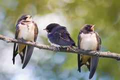 Young swallow Royalty Free Stock Photography