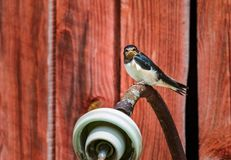 A young swallow sitting on a lamp waiting to be fed. A young swallow perched on a lamp waiting to be fed royalty free stock image