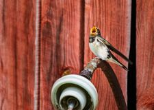 A young swallow sitting on a lamp waiting to be fed. A young swallow perched on a lamp waiting to be fed stock images