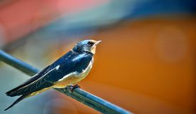 Young swallow waiting for food. Royalty Free Stock Photos
