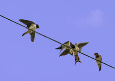 Young swallows being fed - hirundo rustica Royalty Free Stock Photos