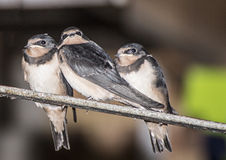 Young Swallows  getting ready to fly Stock Images