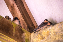 Young swallows (Hirundo rustica) sat on rafters preparing for fi Royalty Free Stock Image