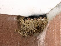 Young swallows life. Young swallows waiting in the nest for next meal royalty free stock images