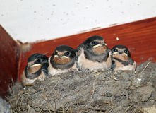Young swallows looking out of nest. Royalty Free Stock Photography
