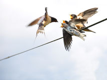 The young swallows mouthful. Mom giving mouthful swallow in full flight of young swallows to put on a wire stock images