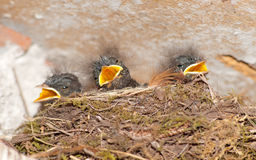 Young swallows in nest Royalty Free Stock Images