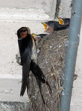 Young swallows in nest being fed by adult bird. Royalty Free Stock Photography