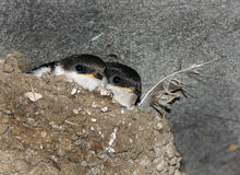 Young Swallows in nest. Young Swallows in nest on commercial building eves royalty free stock photo