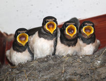 Young Swallows in nest about to be fed. Four young swallows in a nest in the porch of a church. They have sensed the approach of an adult and have their mouths Royalty Free Stock Photography