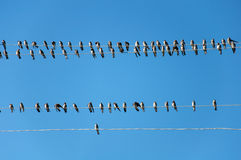 Young Swallows on the wires. Against the blue sky royalty free stock images