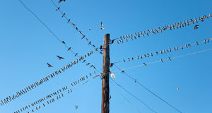 Young Swallows on the wires Stock Image