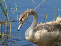 Young Swan. In the like stock photos