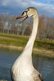Young swan Royalty Free Stock Images