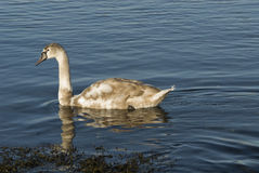 Young Swan Stock Image