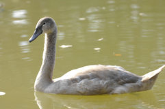 Young swan Stock Images