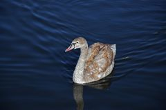 Young swan on blue water royalty free stock images